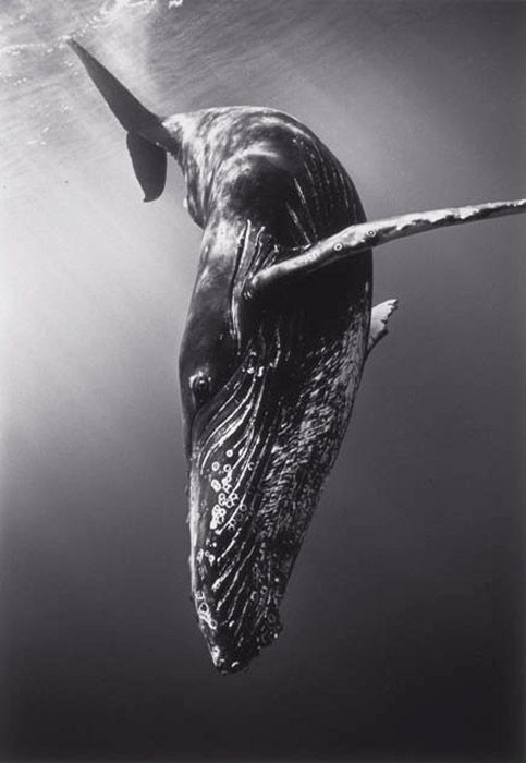 Diving Humpback Whale by Wayne Levin #Humpback_Whale #Whale #Wayne_Levin #Photography