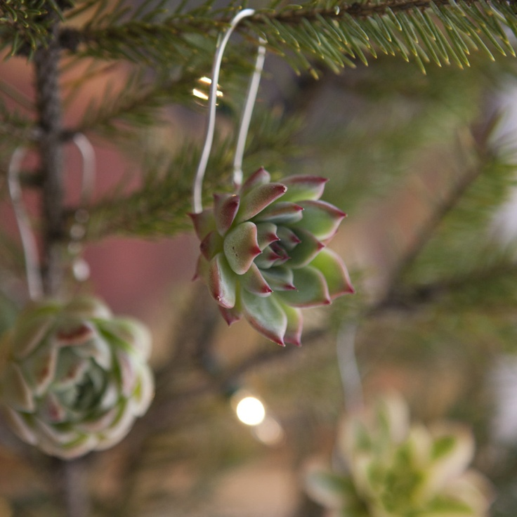 The living succulent cuttings used for these ornaments don't mind hanging around indoors for the holidays. When the season is over, the cuttings can be planted in a pot for the gardener to enjoy forever. Each year, take new cuttings and hang the ornament again!