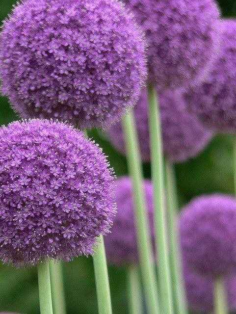Allium giganteum ou l'ail géant fleurit de juin à juillet, fait de belles fleurs en forme de sphères violettes de 10-15 cm de diamètre et les tiges peuvent atteindre jusqu'à 1,5m de hauteur.