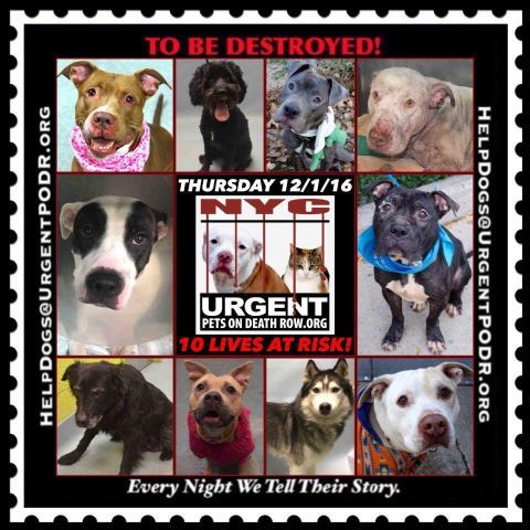 TO BE DESTROYED 12/01/16 - - Info  Please Share:   To rescue a Death Row Dog, Please read this:http://information.urgentpodr.org/adoption-info-and-list-of-rescues/   To view the full album, please click here: http://nycdogs.urgentpodr.org/tbd-dogs-page/ -  Click for info & Current Status: http://nycdogs.urgentpodr.org/to-be-destroyed-4915/