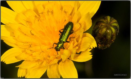 Mosca de España - Lytta vesicatoria - Spanish fly