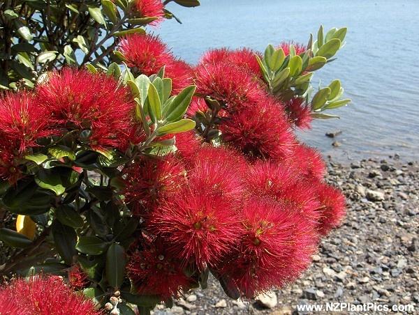 Pohutukawa | NZ Christmas tree
