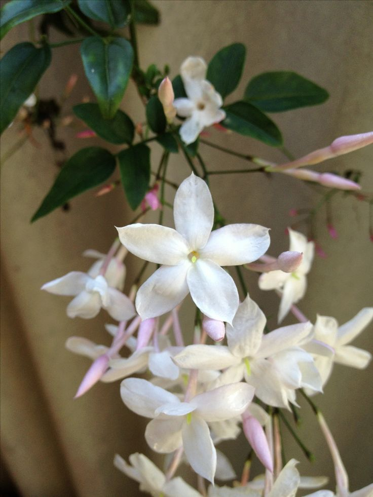 #Jasmine Flower- such a joy to grow... http://www.gardenoohlala.com