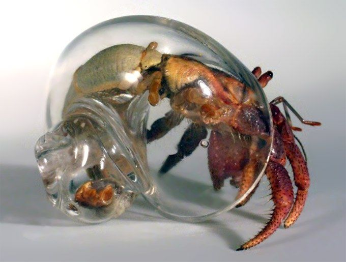 Awesome! Hand-blown glass shells for hermit crabs - by artist/designer Robert DuGrenier: Glass Shells, Hand Blown Glass, Animals, Glasses, Crab Shells, Clear Shell, Glass Hermit, Hermit Crabs