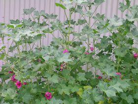 Berkeley Butterfly Blog: Lavatera assurgentiflora--Island Mallow