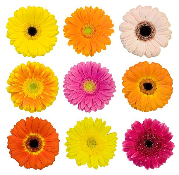 Collection Of Isolated Gerbera Daisies Montage Flower Collage Flowers Daisy