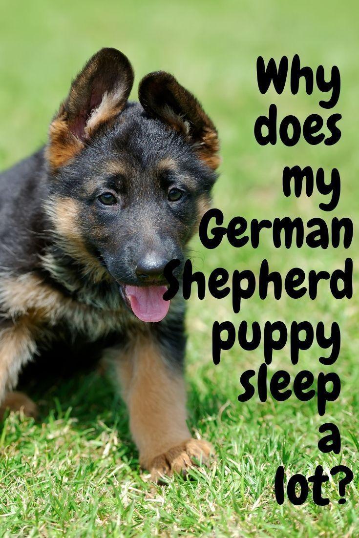 Why Does My German Shepherd Puppy Sleep A Lot Sleeping Puppies