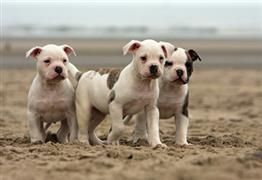 American Bulldog names.... if we fet another one