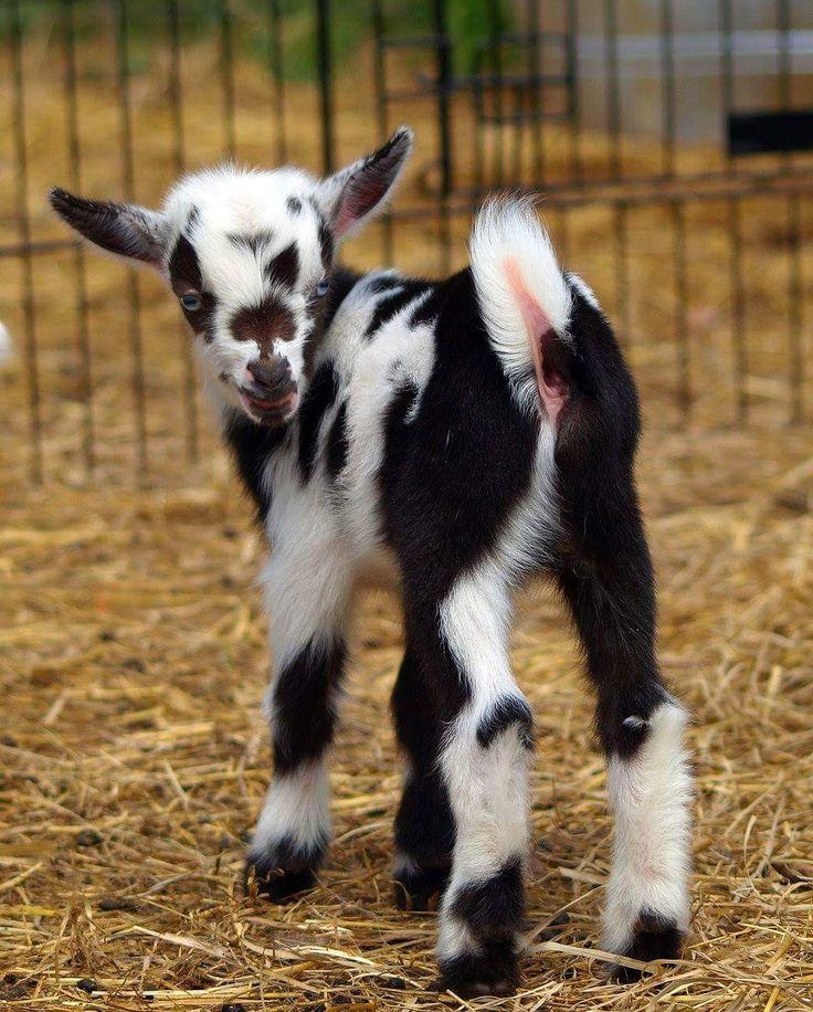 778 Best Goat Farm Images On Pinterest: 25+ Best Ideas About Pygmy Goats On Pinterest