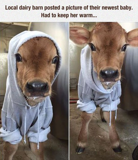 Baby Cow And Its Hoodie