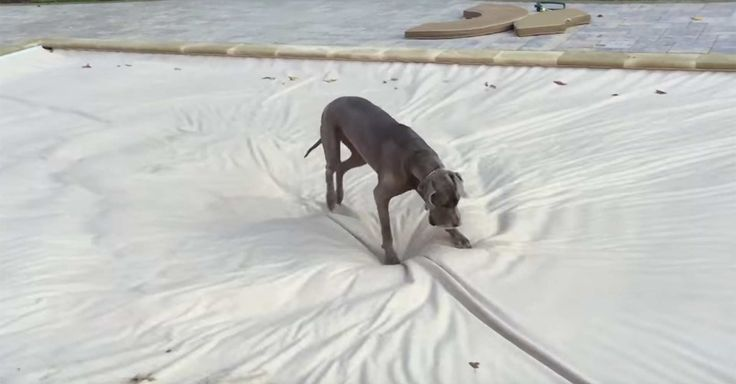 A 140 pound blue great dane treats a pool cover like its own private waterbed.