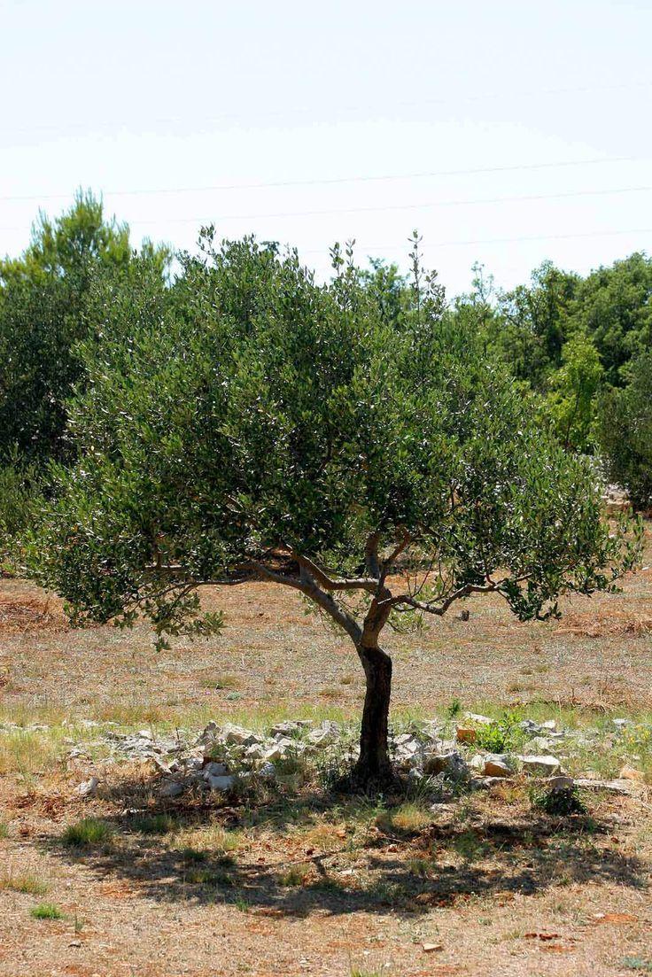 14 best olive tree shapes images on pinterest olive tree olives olive tree buycottarizona Choice Image