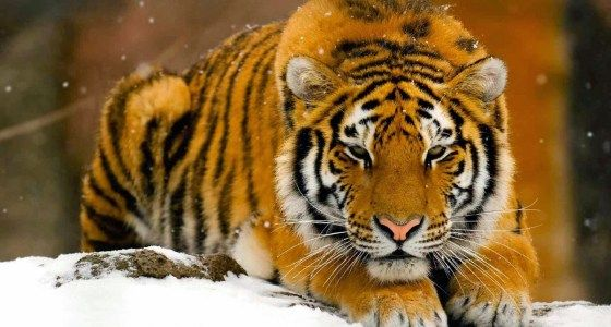 about-tiger-fact