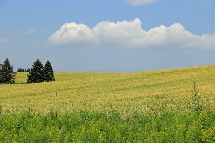 The best word to describe the scenery of PEI is 'pastoral'. This cultivated field, glowing in the bright sunlight and waving in the gentle breezes is a common sight on the Confederation Trail near Hunter River.