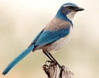 17 Best images about Pacific Northwest Birds on Pinterest ...