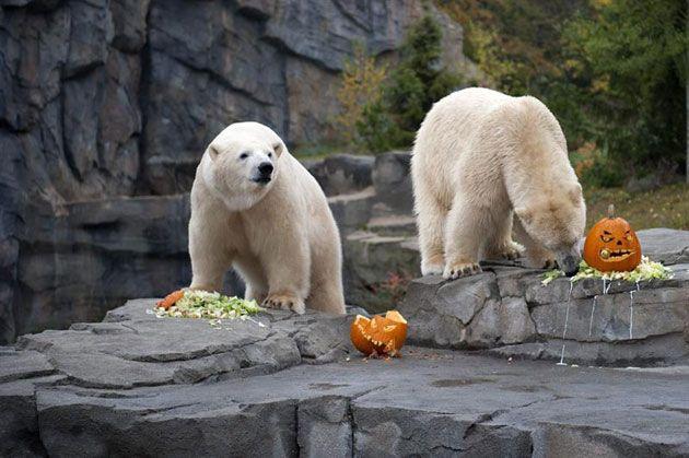 Imágenes tiernas de osos polares a propósito de Halloween
