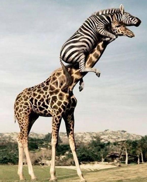 funny zebra climbed on top of a giraffe