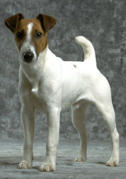 Fox terrier pelo liso mini toy