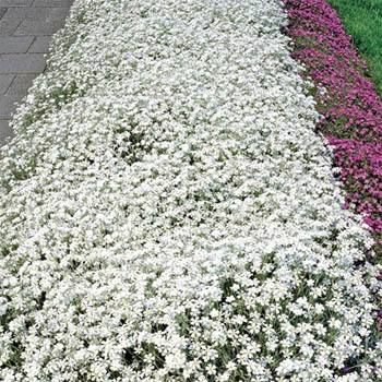 Easy-to-grow from Snow in Summer ground cover seeds, this perennial is a great herbaceous ground cover plant which is low-growing, creeping, very dense and mat-like, and 6 - 10 inches tall by 12 - 24 inches wide. Although it tolerates no foot traffic, Snow in Summer performs well as a general flowering ground cover plant.