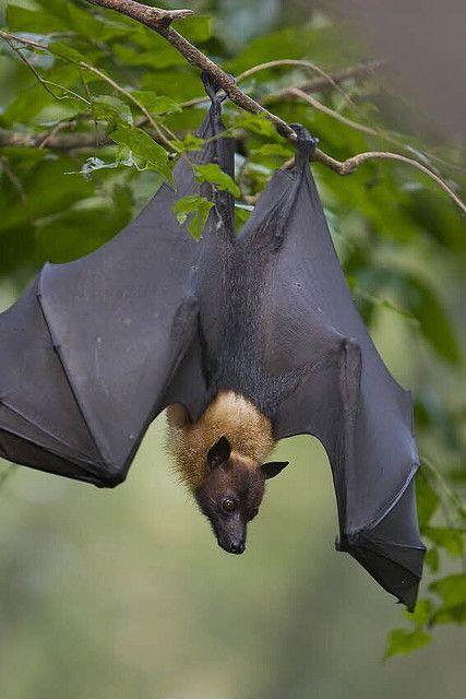Malayan Flying Fox