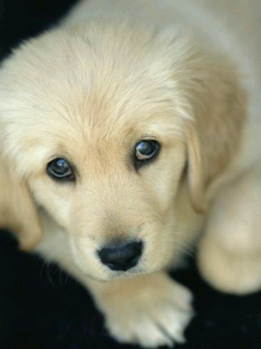 Golden Retriver puppy
