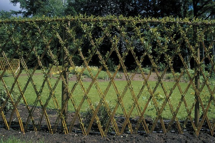 Plant dormant willow whips in the spring and weave the tops to make a living fence.