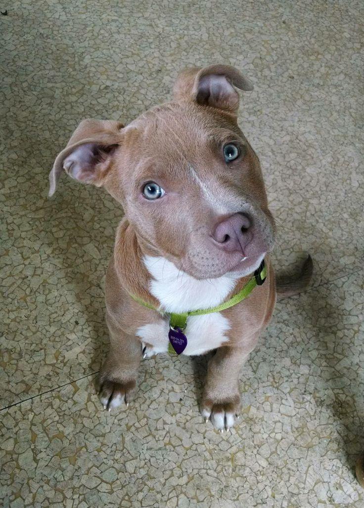 My Pitbull puppy, Lana - Imgur