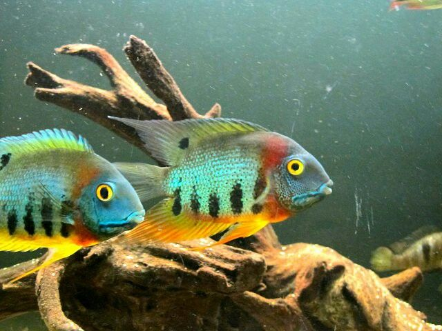 15 best images about severum on pinterest for Rare freshwater fish for sale