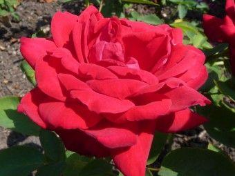 Rosa Ramona (stamroos) stamhoogte 60 cm  Rosa 'Ramona' een doorbloeiende stamroos met rode bloemen. Rosa 'Ramona' bloeit vanaf juni tot in oktober. Rosa 'Ramona' staat graag op een zonnige plek tot half schaduw.