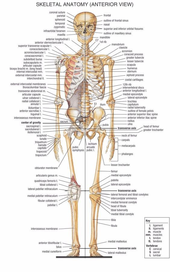 Human skeletal system anterior view poster anatomical chart anatomy ...