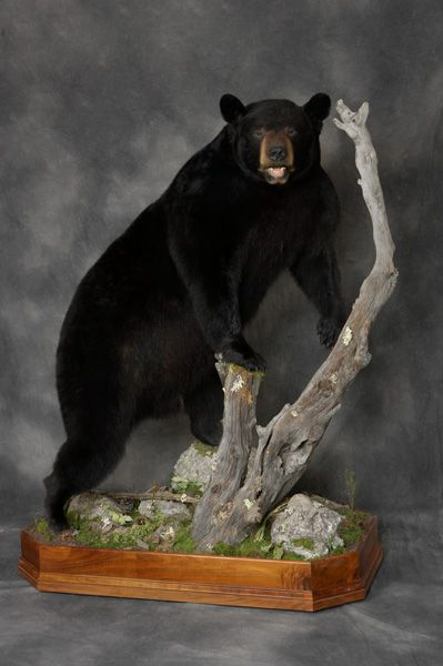 Black Bear Dreaming Pinterest Black Bear Bears And