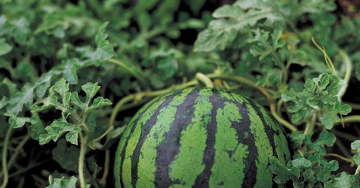 Que tipo de fertilizante usar para o bom crescimento de melancias?. Uma fatia de melancia gelada e doce é um delicioso prazer no verão. Cultivar seus próprios pés de melancias assegura que elas sejam orgânicas e tenham o melhor sabor. Essas frutas vicejam bem em solos arenosos, bem drenados e ricos em material orgânico. A adubação de melancias com a quantidade e tipo corretos de fertilizante ajuda a terem um bom ...