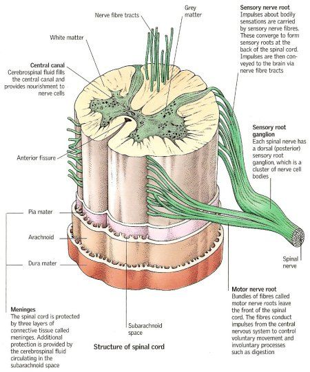 human-body-anatomy:  Structure of the Spinal Cord