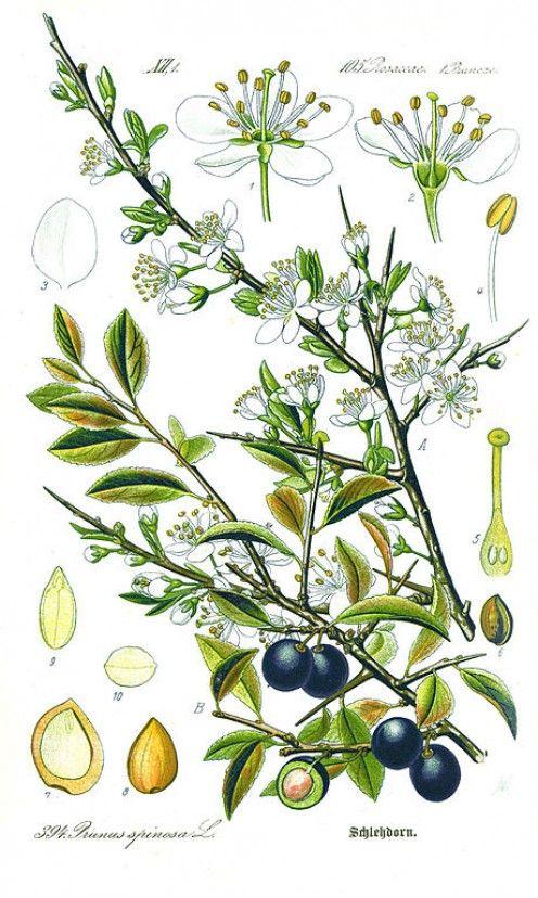 Prunus spinosa N3P3 2/5