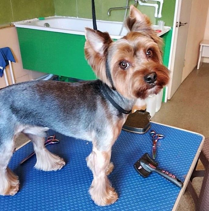 24 Best Yorkie Hairstyles For Males Yorkshire Terrier Haircuts Yorkshire Terrier Yorkie Puppy Haircuts Yorkie