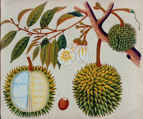 Durian, from an album of watercolors of Asian fruits and flowers, ca. 1798-1810. Dumbarton Oaks Rare Book Collection.