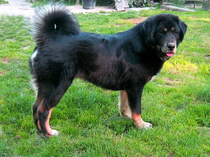 Do Khyi-Tibet Dogge