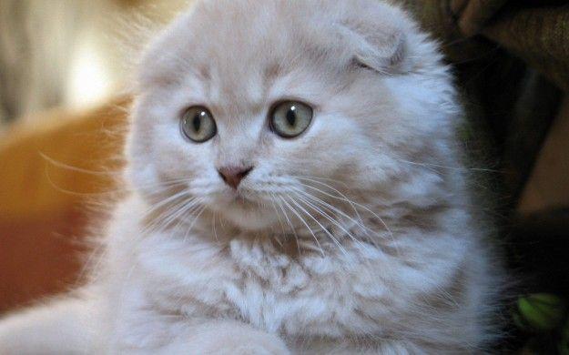 Razze di gatti: le più strane e rare [FOTO] | Ecoo