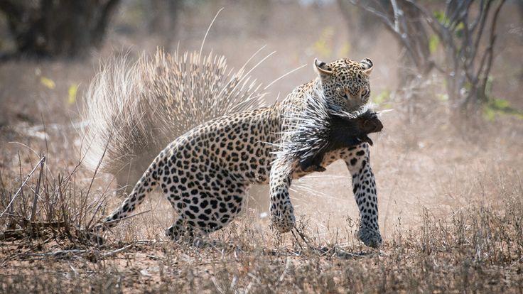 kruger-leopard-and-porcupine-sighting2-john-coe-5