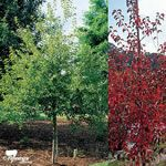 Ornamental pear - Westwood Korean Sun 4x5m Moderate growth rate