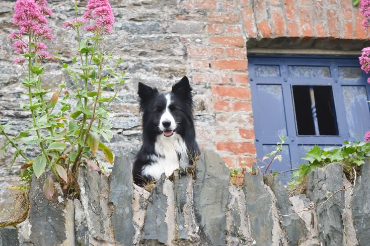 """Look What I've found Connie!  A hidden door in a wall leading to a Secret Garden...! Asha the Border Collie on the Coastal Path in Bangor Co Down, Northern Ireland."