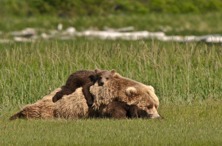 Kodiak Bears, Hallo Bay, Katmai National Park, Alaska, USA. by Kathy TurnerBears Hug, Mothers Day, Nature, National Parks, Cubs, Brown Bears, Baby Bears, Animal,  Bruins