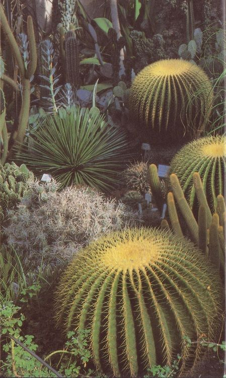 A mixed collection of cacti and succulents, dominated by the large round pincushions of Echinocactus grusonii.