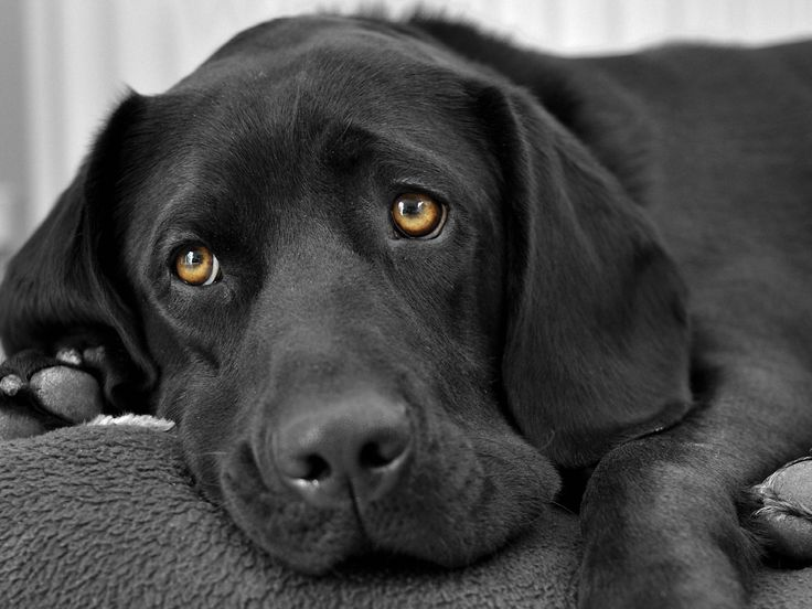 Wonderful Sad Black Adorable Dog - fce590a7605fe2014ec743f583517968--black-labrador-retriever-labrador-retrievers  Pic_249817  .jpg