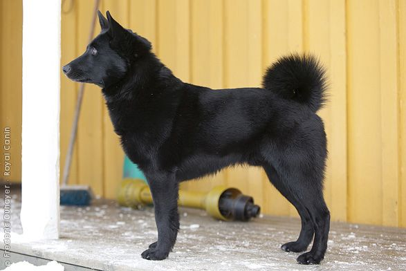 Shiznit.  these are hard to find.    Norwegian Elkhound.