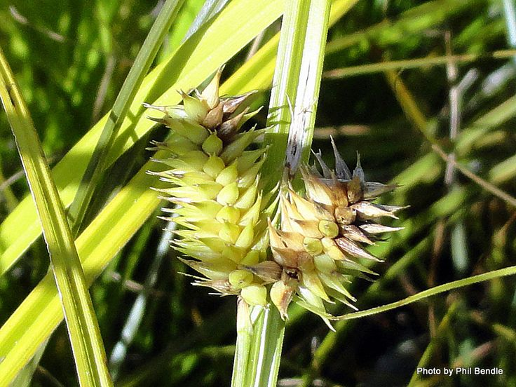 Carex secta – Pukio/ Makura grass/Purei (flower)