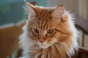25 best ideas about orange maine coon on pinterest long haired cats maine coon kittens and. Black Bedroom Furniture Sets. Home Design Ideas