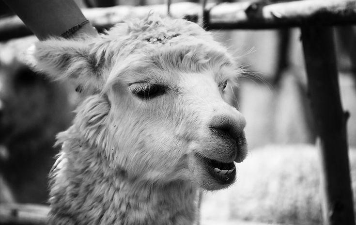 33 Best Llamas Images On Pinterest