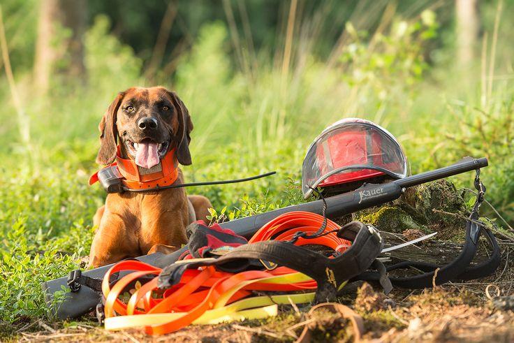 BayerischerGebirgsschweißhund, BGS, Schweißhund, Schweisshund, Nachsuche, Jagdhund, JuliaKauer, julia kauer