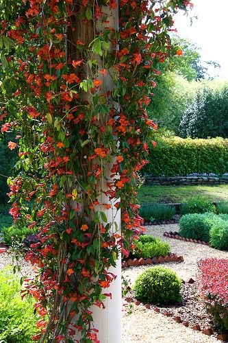 Trumpet Vines like hot and sunny places!